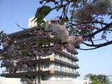 八重桜5月6日