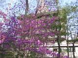 ツツジ紫2 5月7日