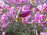 ツツジ紫3 5月7日
