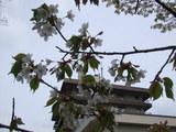 桜5月2日2
