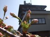 桜5月1日1