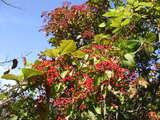 紅葉木の実20071022