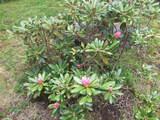 石楠花2007052901
