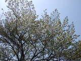 20070509桜