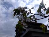 20070507桜