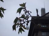 2007年5月6日撮影桜