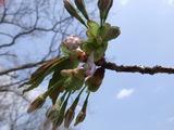 20070505桜つぼみ