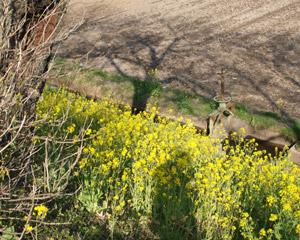 20090405菜の花