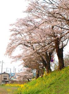 2009桜並木
