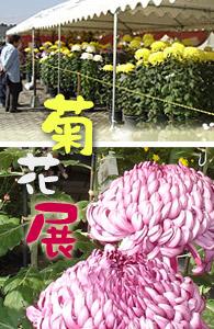 菊花展宣材