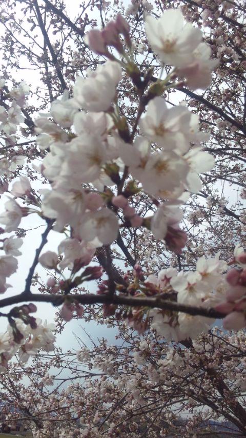 201247桜