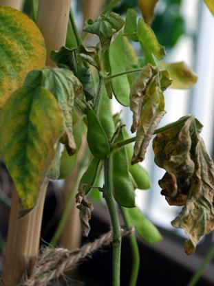 枝豆の収穫直前