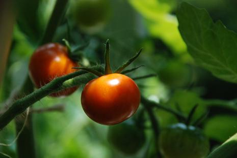 色づき始めたぷちトマト