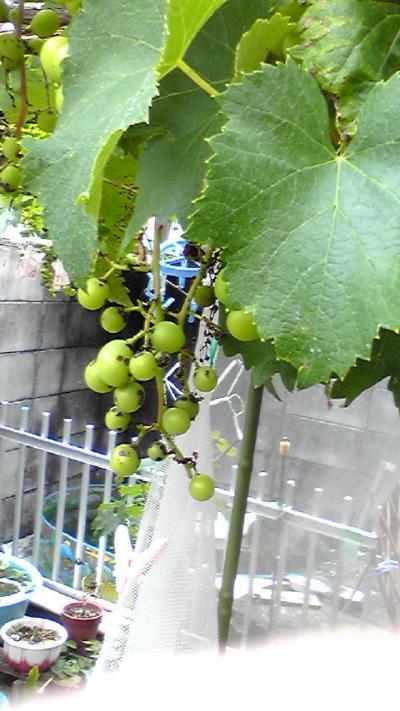 2009-0612-budou_convert_20090612113217.jpg