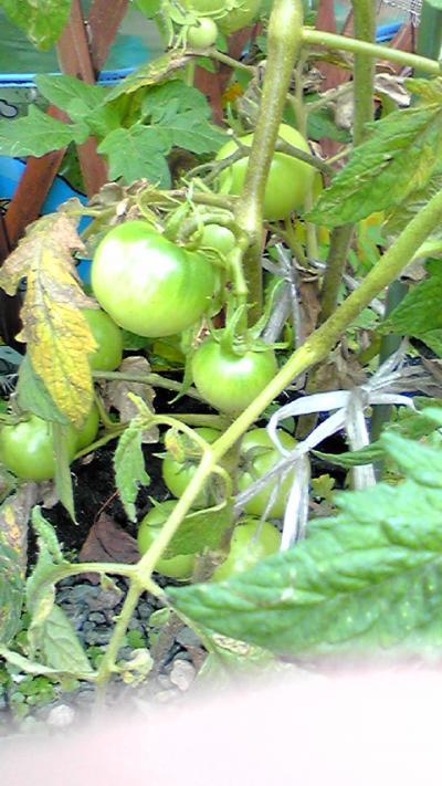 2009-0612-tomato_convert_20090612113330.jpg