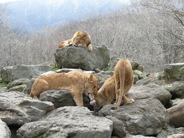 080326骨食べるライオン