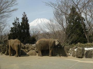 080326ゾウと富士山