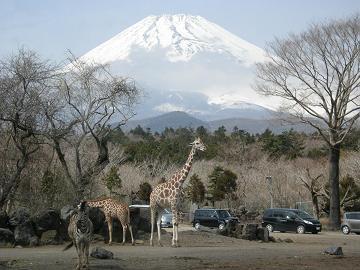 080326キリンとシマウマと富士山
