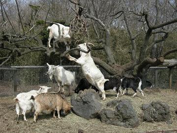 080326木に登るヤギ