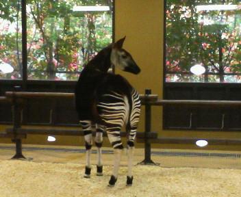 080505ズーラシア動物園②オカピ2