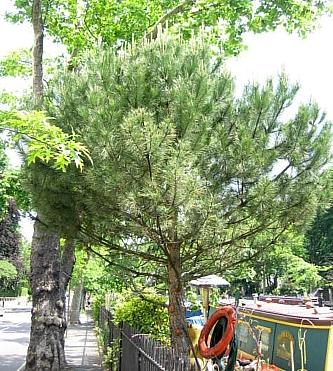 リトルベニス 松の木