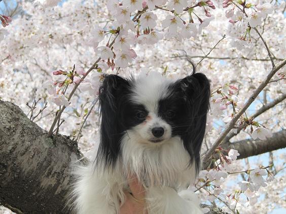 桜とランディ