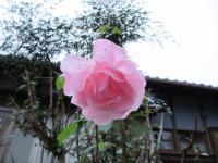 2011.11.18 我が家のバラ