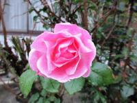 2011.11.18 我が家のバラ2