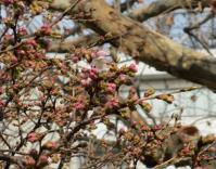 2012.3.11 桜一輪 ブログ用