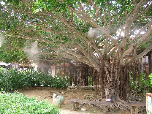 がじゅまる の 木