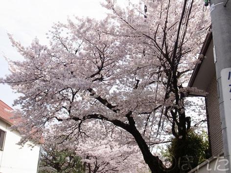 2011_桜3