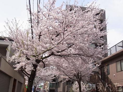2011_桜4
