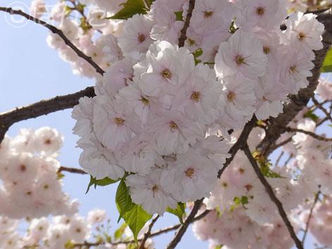 八重桜_1
