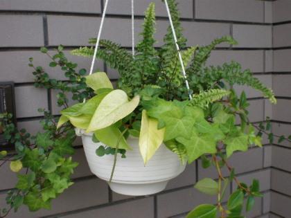 観葉植物の寄せうえ