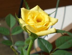 みにばら黄色