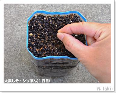 ハーブのペット栽培(大葉しそ)05
