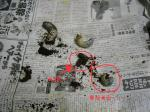 ヘラヘラWF1幼虫03