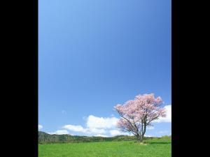 「一本の桜の木がある情景」~弟子屈町で偶然見つけた桜の木
