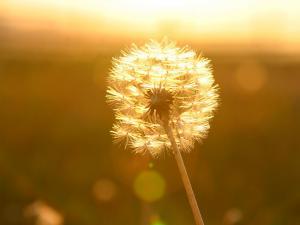 「穂綿」~夕陽に染まる多和平のタンポポ