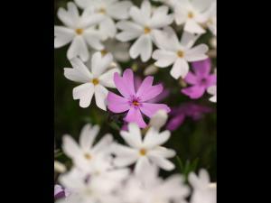 「紅一点」~大空町東藻琴の芝桜