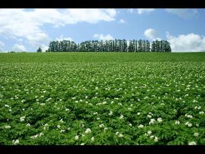 「じゃがいも畑とマイルドセブンの丘」~美瑛町の夏の風景