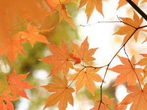 「秋、オレンジ色の光」 斜里町・来運公園の紅葉