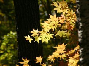 「秋、黄金色に輝く」~斜里町・来運公園の黄葉