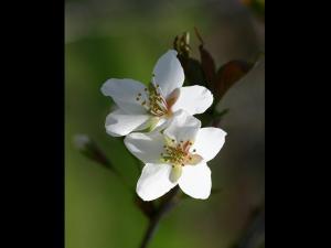 「チェリーブラッサム」~札幌前田森林公園の桜2