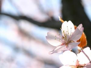 「さくら」~札幌前田森林公園の桜