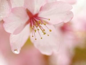 「さくらのしずく」~厚岸町・子野日公園の桜