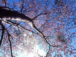 「桜を見上げて」~上湧別町五鹿山キャンプ場付近の桜