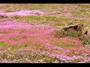 「芝桜の憧憬」~大空町東藻琴の芝桜公園