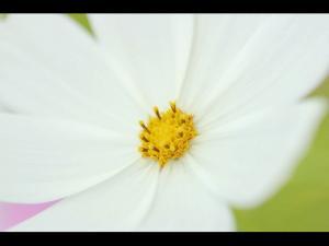 「ホワイトコスモス」 遠軽町太陽の丘えんがる公園2006