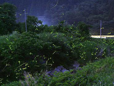 美東の桂坂川のホタル